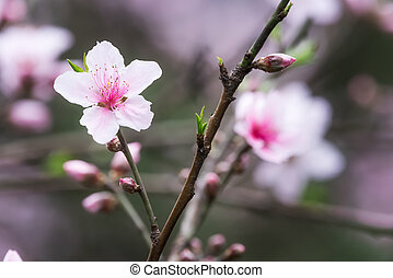 Red malus spectabilis flower - chinese crabapple - Pink...