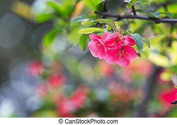 Red malus spectabilis flower - chinese crabapple - Red malus...