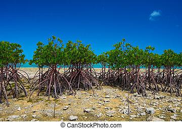 Red Mangrove in KAWAMITSU-Rhizophora mucronata, Okinawa ...