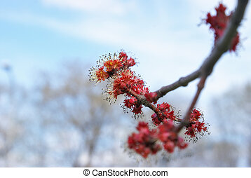 Red Maple Buds - A vibrant macro of a red maple tree budding...