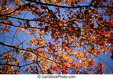 Red Maple in early autumn - Orange and red leaves of the red...