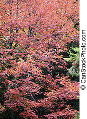 Red Maple in fall - Red Maple glows in its autumn coloration