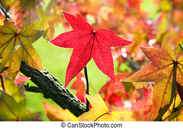 fall leaves - Red maple leaf among fall leaves