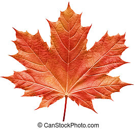Close-up of a perfect red maple leaf isolated on pure white background
