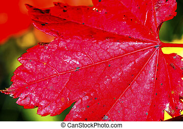 Red Maple Leaf Close Up Yellow Gold Lake Snoqualme Pass Washington