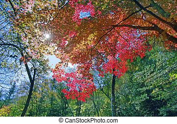 Red maple leaf tree,