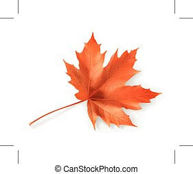 Red maple leaf, vector illustration, isolated on white ...