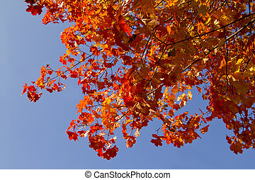red maple leaves and sky