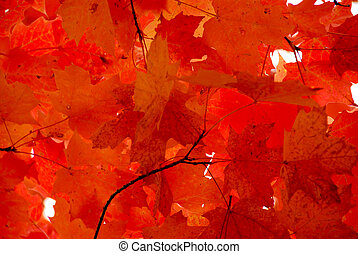 Bright red fall maple leaves background