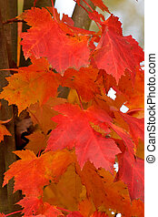 Red Maple Leaves Closeup