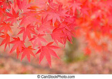 Red maple leaves during autumn season