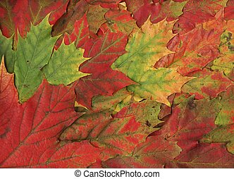 Red maple leaves -fall background