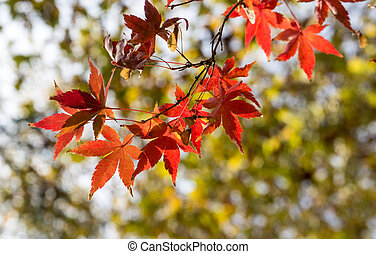 Red maple leaves, golden autumn
