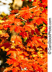 red maple leaves in Autumn, Quebec, Canada - hdr picture