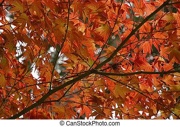 red maple leaves in Japan