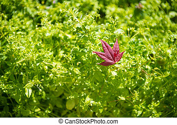 Red maple leaves on green background