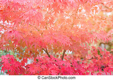 Red Maple leaves on tree during Autumn season