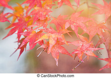 Red maple leaves on tree selective focus