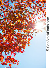 Red maple leaves on tree with sunlight