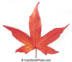 Red Maple leaves on white background.