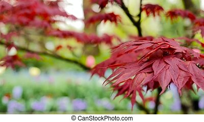 red maple leaves with foliage in the background.