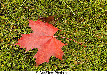 Red Maple on Grass