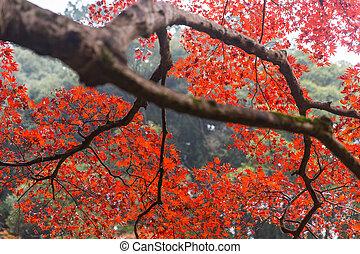 Red Maple Tree in Japan Autumn Season