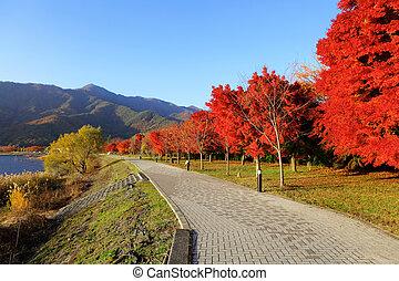 Red maple tree in japan garden