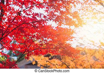 Red maple tree Japan autumn fall season
