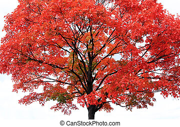 Red maple tree on light-grey background