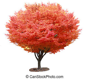 Red Maple Tree - Single red japanese maple tree isolated on...