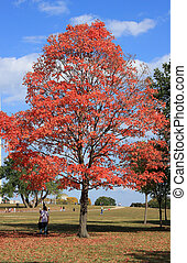 Red maple tree - Red maple on blue sky backgraund on the...