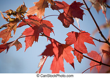 Red Maples Leaves in Autumn
