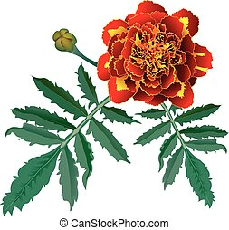 Red marigold flower (Tagetes) - Realistic illustration of...