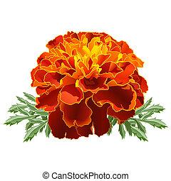 marigold vector clipart eps images 755 marigold clip art vector rh canstockphoto com Orange Marigold Clip Art Marigold Flowers