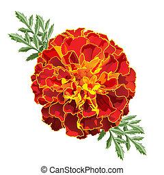 Red Marigold (Tagetes) - Red marigold flower (Tagetes patula...