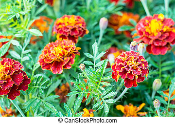 Red marigolds with green leaves