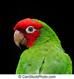Red Masked Conure - Colorful Red Masked Conure or...