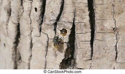 Red Mason Bee Near The Tree,Slow Motion