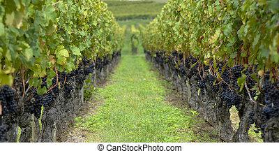 Red merlot grapes, Bordeaux vineyard, France, Europe