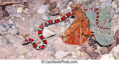 Red Milk Snake Illinois Wildlife