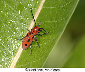 Red Milkweed Bug