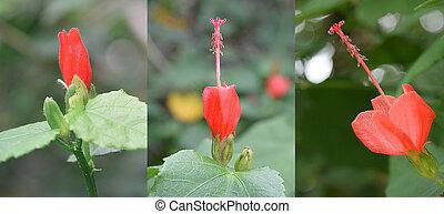 Red Mini Hibiscus