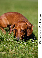 Red Miniature Dachshund in the grass