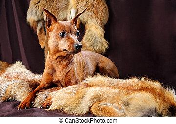 The Miniature Pinscher (Zwergpinscher, Min Pin) is a small breed of dog of the Pinscher type, developed in Germany. Miniature Pinschers were first bred to hunt.)