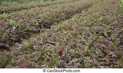 Red mizuna plants carefully growing in the garden - Rows of ...