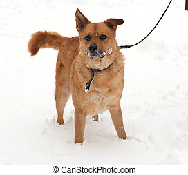 Red mongrel dog standing on snow