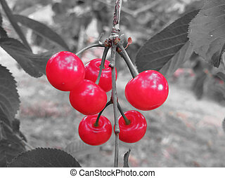 Red Montmorency cherries on tree in cherry orchard . Black and white background
