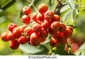 Red mountain ash berries
