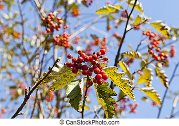 red mountain ash in the autumn